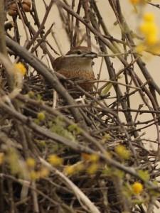 Espinero pecho manchadoNido/Freckle-breasted ThornbirdNest