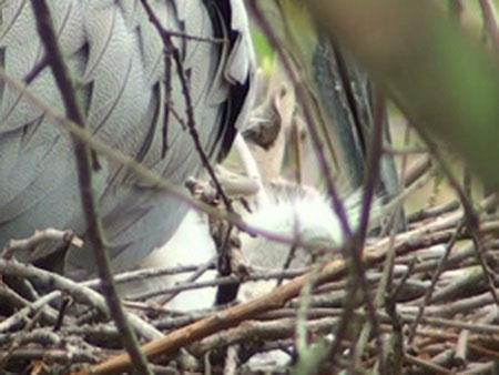 Hocó coloradoN/Rufescent Tiger-HeronN