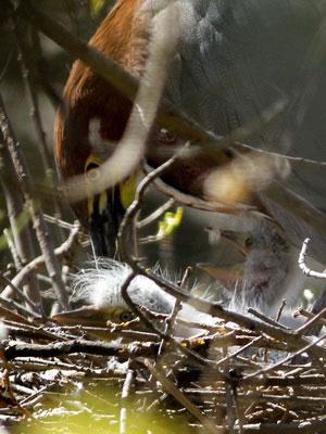 Hocó coloradoC/Rufescent Tiger-HeronC