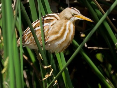 Mirasol común/Stripe-backed Bittern