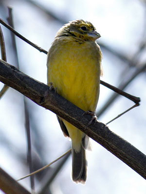 Misto/Grassland YellowFinch