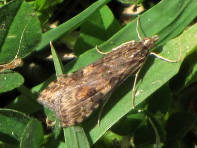 Nomophila noctuella/Rush Veneer