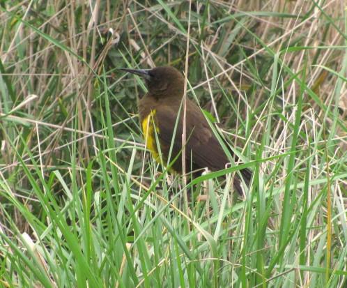 Pecho amarillo común/Brown-and-yellow Mashbird