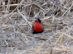 Pecho colorado/White-browed Blackbird