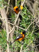 Turpial y matico/Campo and Orange-backed Troupials