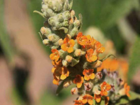 Cambará/Butterflybush
