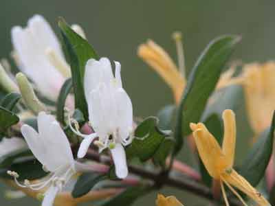 Madreselva/Honeysuckle