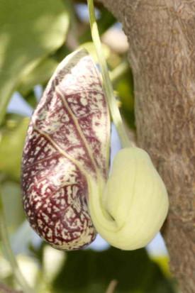 Aristoloquia/Calico flower