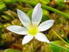 Azucenita de bañado/Zephyr lily