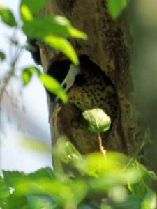 Carpintero realN/Green-barred WoodpeckerN