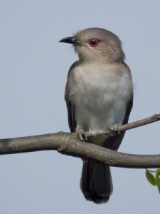 Cuclillo chico/Ash-colored Cuckoo