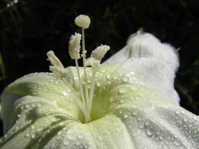 Dama de noche/Moon flower