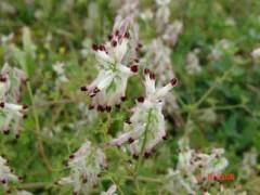 Flor de pajarito/Whiteflower fumitory