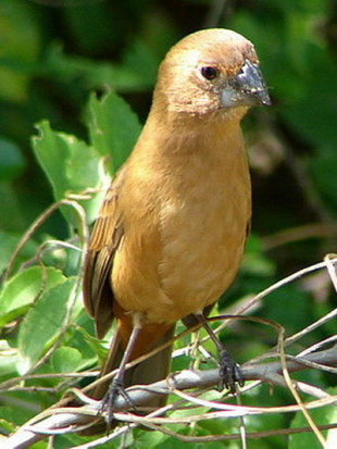 Reinamora chicaM/Glaucous-blue Grosbeak