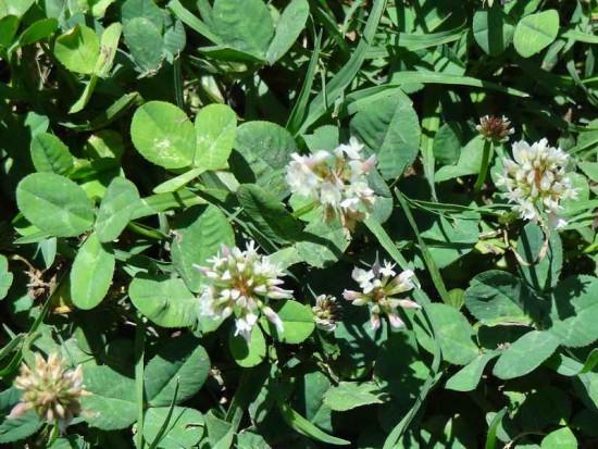 Trébol blanco/White clover