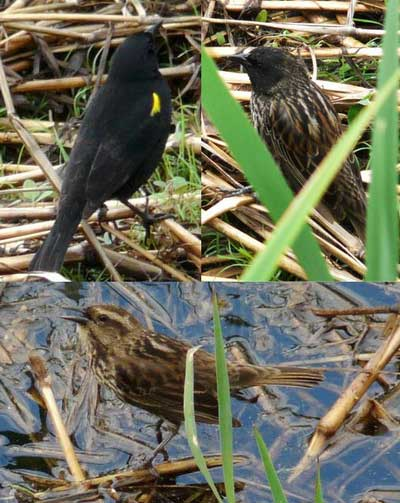 Varillero ala amarillaMHJ/Yellow-winged Blackbird