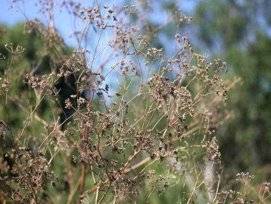 Cicuta/Poison Hemlock