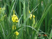 Lirio amarilloYellow water flag