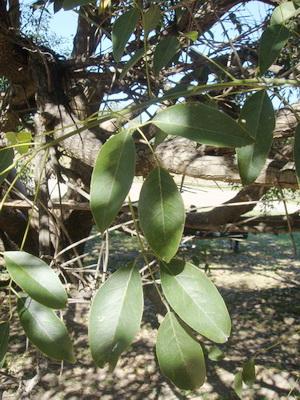 Ceibo/Cockspur Coral Tree