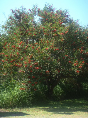 Ceibo/Cockspur Coral Tree
