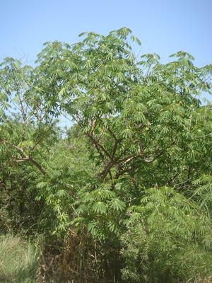 Falso café/Graham's cassava