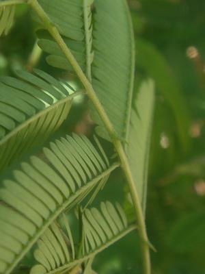 Ñapinday/Acacia bonariensis
