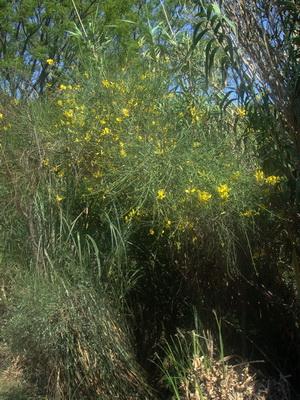 Retama de olor/Spanish broom