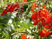 Seibillo/Scarlet wisteria