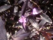 Tradescantia/Purple heart