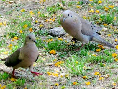 Torcaza/Eared Dove