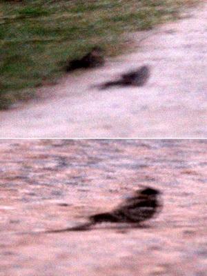 Atajacaminos tijera/Scissor-tailed Nightjar