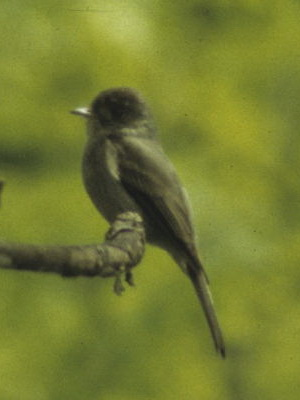 Burlisto chico/Tropical Pewee