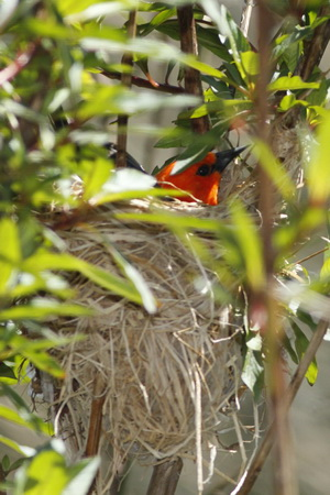 FederalN/Scarlet-headed BlackbirdN