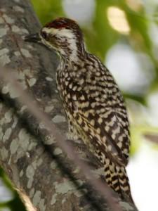 Carpintero bataraz chicoJ/Checkered WoodpeckerJ