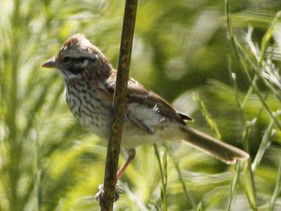 ChingoloJ/Rufous-collared SparrowJ