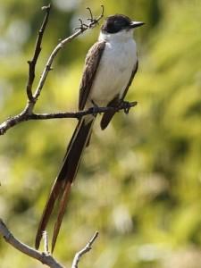 TijeretaM/Fork-tailed FlycatcherM