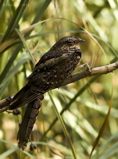 Atajacaminos tijeraH/Scissor-tailed NightjarF