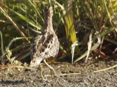 Becasina común/South AmericanCommon Snipe