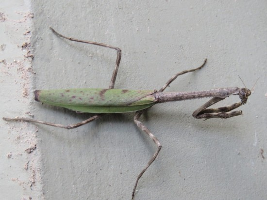 Mamboretá/Praying mantis