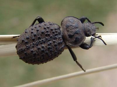 Escarabajo de arena/Scotobius miliaris