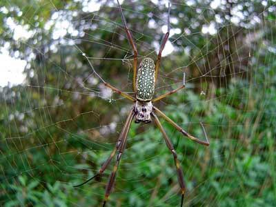 Araña de la seda de oro/Golden Silk Orbweaver