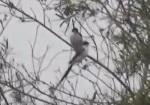 Tijereta/Fortk-tailed Flycatcher
