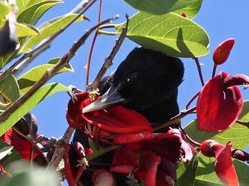 Boyero negro/Solitary Cacique