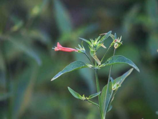 Canario rojo/Dicliptera tweediana