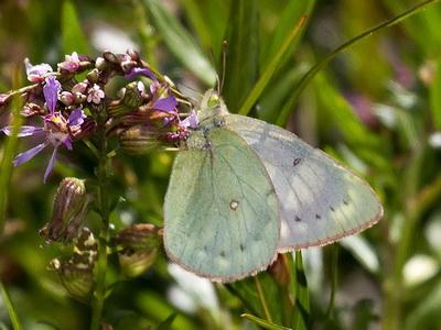Isoca de la alfalfa var.heliceoides/Lesbia Sulphur var. heliceoides