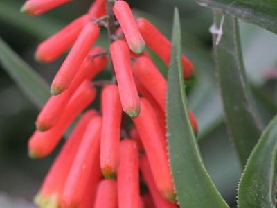 Aloe trepador/Climbing aloe