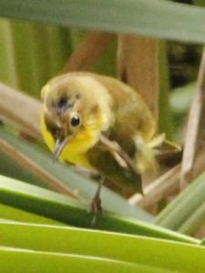 Arañero cara negraH/Masked YellowthroatF