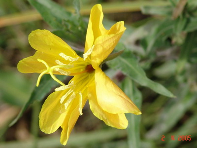 Flor de la oración/Longflower evening primrose