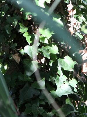 Hiedra/Ivy