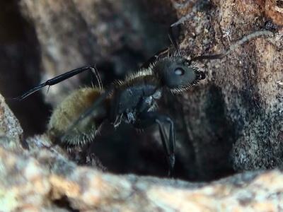 Hormiga carpintera/Camponotus mus